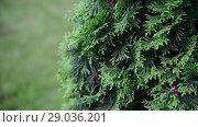 Купить «Fragment of thujas coniferous tree», видеоролик № 29036201, снято 5 июня 2018 г. (c) Володина Ольга / Фотобанк Лори