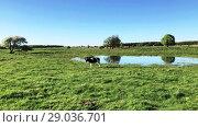 Купить «Cow grazing on a meadow at the summer», видеоролик № 29036701, снято 6 июня 2020 г. (c) Антон Гвоздиков / Фотобанк Лори