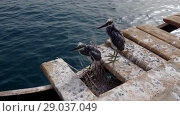 Купить «Two fledgling herons stand next to nest on wooden pier against the backdrop of the sea. Arabian Reef-egret or Western Reef Heron (Egretta gularis schistacea)», видеоролик № 29037049, снято 1 сентября 2018 г. (c) Некрасов Андрей / Фотобанк Лори