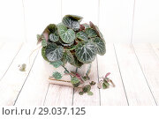 Купить «Камнеломка. Комнатное растение», фото № 29037125, снято 31 августа 2018 г. (c) Наталья Осипова / Фотобанк Лори