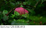 Купить «Apple tree with apples is wet from the rain», видеоролик № 29038413, снято 6 августа 2018 г. (c) Володина Ольга / Фотобанк Лори