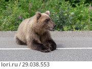 Купить «Медведь лежит на автодороге», фото № 29038553, снято 30 июля 2018 г. (c) А. А. Пирагис / Фотобанк Лори
