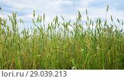 Купить «green wheat in the field, fragment», видеоролик № 29039213, снято 4 июля 2018 г. (c) Володина Ольга / Фотобанк Лори
