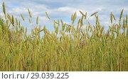 Купить «yellow wheat in the field, fragment», видеоролик № 29039225, снято 4 июля 2018 г. (c) Володина Ольга / Фотобанк Лори