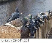 Купить «Flock of pigeons», фото № 29041201, снято 13 ноября 2012 г. (c) Argument / Фотобанк Лори