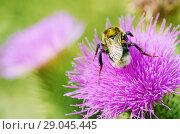 Купить «A bumblebee collects nectar from a flower», фото № 29045445, снято 23 июля 2018 г. (c) Александр Клопков / Фотобанк Лори