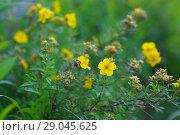 Купить «Курильский чай кустарниковый (Pentaphylloides fruticosa)», фото № 29045625, снято 14 августа 2018 г. (c) Марина Володько / Фотобанк Лори