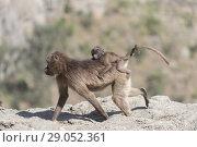Купить «Africa, Ethiopia, Rift Valley, Debre Libanos, Gelada or Gelada baboon (Theropithecus gelada), adult female with a baby.», фото № 29052361, снято 5 апреля 2017 г. (c) age Fotostock / Фотобанк Лори