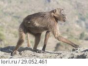 Купить «Africa, Ethiopia, Rift Valley, Debre Libanos, Gelada or Gelada baboon (Theropithecus gelada), adult female alone.», фото № 29052461, снято 6 апреля 2017 г. (c) age Fotostock / Фотобанк Лори