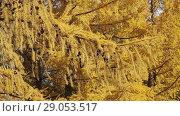 Купить «Желтые осенние ветви сибирской лиственницы раскачиваемые слабым ветром», видеоролик № 29053517, снято 13 октября 2017 г. (c) Круглов Олег / Фотобанк Лори