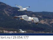 Купить «Средиземноморские чайки в полете у побережья Греции», фото № 29054177, снято 14 июня 2018 г. (c) Григорий Писоцкий / Фотобанк Лори