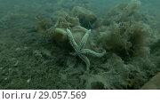 Купить «Spiny Starfish (Marthasterias glacialis) on the brown algae Laminaria», видеоролик № 29057569, снято 5 сентября 2018 г. (c) Некрасов Андрей / Фотобанк Лори