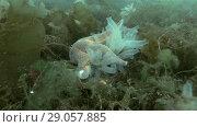 Купить «Spiny Starfish (Marthasterias glacialis) eat ascidian colony Transparent sea squirt or Yellow Sea Squirt (Ciona intestinalis, Ascidia intestinalis) on seabed overgrown with brown algae (Time-lapse)», видеоролик № 29057885, снято 6 сентября 2018 г. (c) Некрасов Андрей / Фотобанк Лори