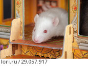 Купить «Baby rat close up», фото № 29057917, снято 24 ноября 2012 г. (c) Argument / Фотобанк Лори