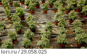 Купить «Picture of seedlings of tomatoes growing in pots in greenhouse», видеоролик № 29058025, снято 23 июля 2018 г. (c) Яков Филимонов / Фотобанк Лори