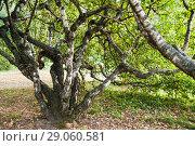 Купить «Карельская берёза (Betula pendula var. carelica) в Главном Ботаническом саду им. Н.В. Цицина», фото № 29060581, снято 8 сентября 2018 г. (c) Алёшина Оксана / Фотобанк Лори