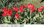 Купить «Красные тюльпаны колышутся на ветру», видеоролик № 29061429, снято 21 апреля 2018 г. (c) Олег Хархан / Фотобанк Лори