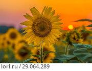 Купить «Подсолнух на закате. Цветёт подсолнух в Ставрополье. Крупный вид цветов.», фото № 29064289, снято 7 июля 2018 г. (c) Лашков Фёдор / Фотобанк Лори