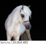 Купить «Портрет светло-солового жеребца породы Американская миниатюрная лошадь», фото № 29064485, снято 13 июля 2018 г. (c) Абрамова Ксения / Фотобанк Лори