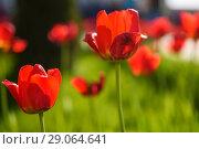 Купить «Красные тюльпаны в саду», эксклюзивное фото № 29064641, снято 9 мая 2018 г. (c) Игорь Низов / Фотобанк Лори