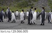 Купить «King Penguins walk on beach», видеоролик № 29066005, снято 31 августа 2018 г. (c) Vladimir / Фотобанк Лори