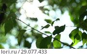 Купить «Camera moving and changing focus in the shade of trees. Bright warm summer sunny green background with bokeh and glares», видеоролик № 29077433, снято 23 февраля 2019 г. (c) Dmitry Domashenko / Фотобанк Лори