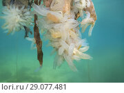 Купить «Hanging Gardens of Aegir (Ægir) - colony of Transparent sea squirt or Yellow Sea Squirt (Ciona intestinalis, Ascidia intestinalis)», фото № 29077481, снято 7 августа 2018 г. (c) Некрасов Андрей / Фотобанк Лори