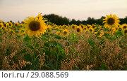 Купить «fragment of blooming sunflowers at sunset in field», видеоролик № 29088569, снято 27 июля 2018 г. (c) Володина Ольга / Фотобанк Лори
