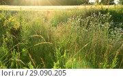 Купить «fragment of beautiful Meadow in the backlight», видеоролик № 29090205, снято 25 июня 2018 г. (c) Володина Ольга / Фотобанк Лори