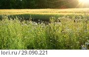 Купить «fragment Fields with flowers in Sun rays», видеоролик № 29090221, снято 25 июня 2018 г. (c) Володина Ольга / Фотобанк Лори