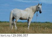 Купить «Белый конь в поле. Скакун на пастбище.», фото № 29090357, снято 28 июля 2018 г. (c) Яковлев Сергей / Фотобанк Лори