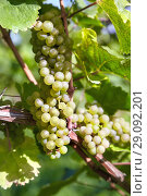 Купить «Sweet and tasty white grape bunches on the grapevine», фото № 29092201, снято 4 октября 2010 г. (c) Serg Zastavkin / Фотобанк Лори