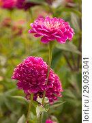Купить «Цветки яркорозовой махровой циннии (Lat Zinnia) на зеленом фоне», фото № 29093041, снято 4 сентября 2018 г. (c) Наталья Николаева / Фотобанк Лори