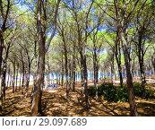 Купить «Pines at the beach of Porto Ainu, near Budoni, Gallura, East Sardinia, Sardinia, Italy, Europe.», фото № 29097689, снято 16 августа 2018 г. (c) age Fotostock / Фотобанк Лори