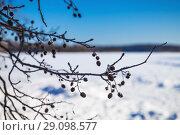 Купить «Alder tree branches in winter. Close-up», фото № 29098577, снято 24 февраля 2018 г. (c) EugeneSergeev / Фотобанк Лори