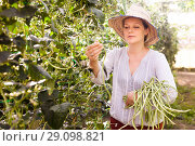 Купить «Young woman in hat picking harvest of chinese vigna in sunny garden», фото № 29098821, снято 13 августа 2018 г. (c) Яков Филимонов / Фотобанк Лори