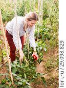 Купить «Positive woman horticulturist picking harvest of peppers in greenhouse», фото № 29098829, снято 13 августа 2018 г. (c) Яков Филимонов / Фотобанк Лори