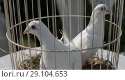 Купить «White doves in a cage on a sunny day before the wedding ceremony», видеоролик № 29104653, снято 8 августа 2018 г. (c) Aleksejs Bergmanis / Фотобанк Лори