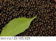 Купить «Урожай бузины черной», фото № 29105929, снято 30 августа 2018 г. (c) Игорь Кутателадзе / Фотобанк Лори