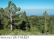 Calabrian pine (Pinus nigra calabrica) is a coniferous tree native to Calabria, Sicily and Corsica. This photo was taken in Mount Etna, Sicily, Italy. Стоковое фото, фотограф J M Barres / age Fotostock / Фотобанк Лори