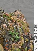 Купить «Saxifrage. Sparse vegetation of Yakutia.», фото № 29117281, снято 31 июля 2013 г. (c) Сергей Дрозд / Фотобанк Лори