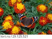 Бабочка Адмирал (лат. Vanessa atalanta) на бархатцах. Стоковое фото, фотограф Елена Коромыслова / Фотобанк Лори