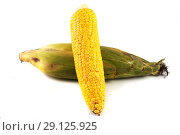 Купить «Початок  кукурузы, изолированные на белом фоне», фото № 29125925, снято 2 сентября 2018 г. (c) Литвяк Игорь / Фотобанк Лори