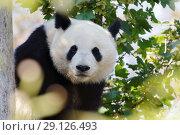 Купить «Гигантская панда», фото № 29126493, снято 17 сентября 2018 г. (c) Stockphoto / Фотобанк Лори