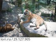 Купить «Tiger at the zoo», фото № 29127905, снято 24 апреля 2018 г. (c) Типляшина Евгения / Фотобанк Лори
