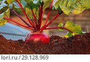 Купить «Свежий урожай свеклы на грядке», фото № 29128969, снято 21 сентября 2018 г. (c) Наталия Кузнецова / Фотобанк Лори