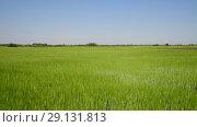 Купить «movement along green wheat field in June», видеоролик № 29131813, снято 22 июня 2018 г. (c) Володина Ольга / Фотобанк Лори