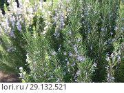Купить «Ling heather (Caluna vulgaris)», фото № 29132521, снято 19 сентября 2018 г. (c) Марина Володько / Фотобанк Лори