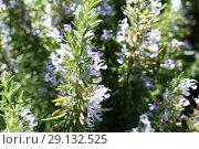 Купить «Ling heather (Caluna vulgaris)», фото № 29132525, снято 19 сентября 2018 г. (c) Марина Володько / Фотобанк Лори