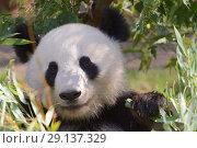 Купить «Гигантская панда», фото № 29137329, снято 17 сентября 2018 г. (c) Stockphoto / Фотобанк Лори